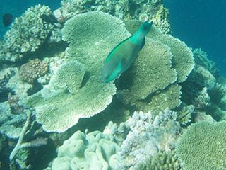 GreatbarrierReefParrotfish