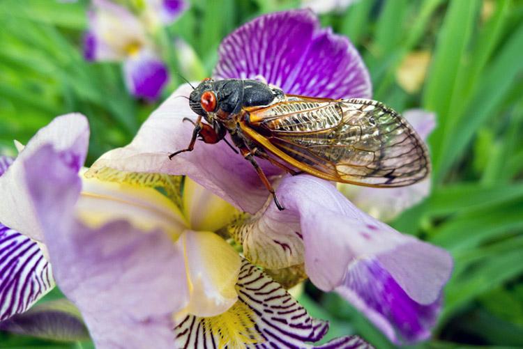 Cicada_close_up_750 (1)