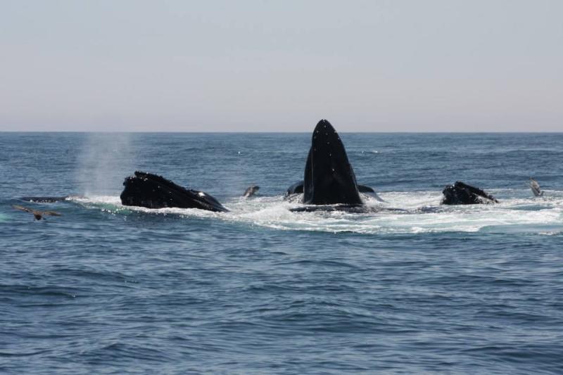 Tom 3 Whales On Tuna Trip
