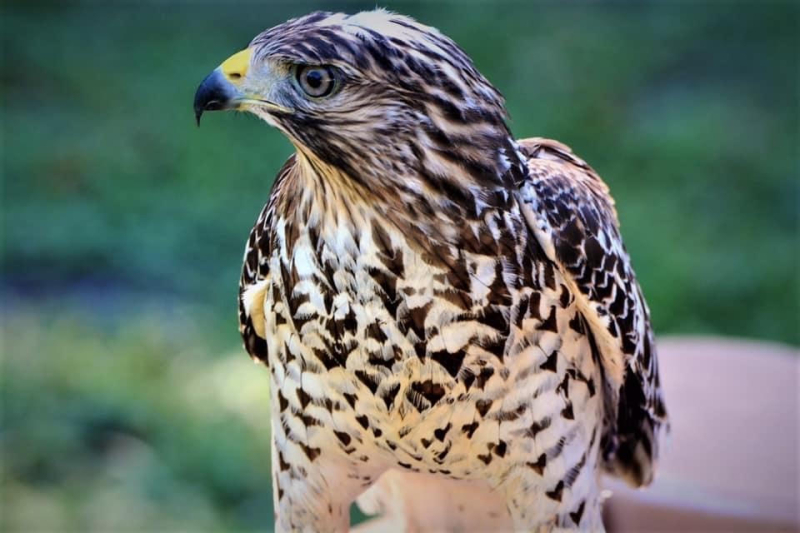 Nancy Red Shouldered Hawk