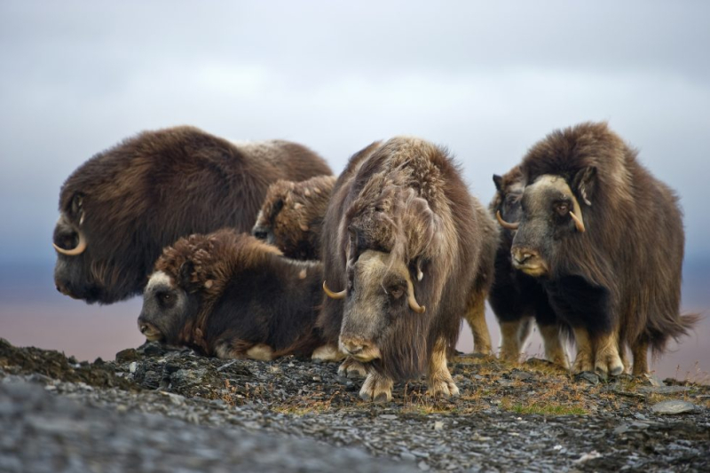 Kutik muskoxen credit biographic