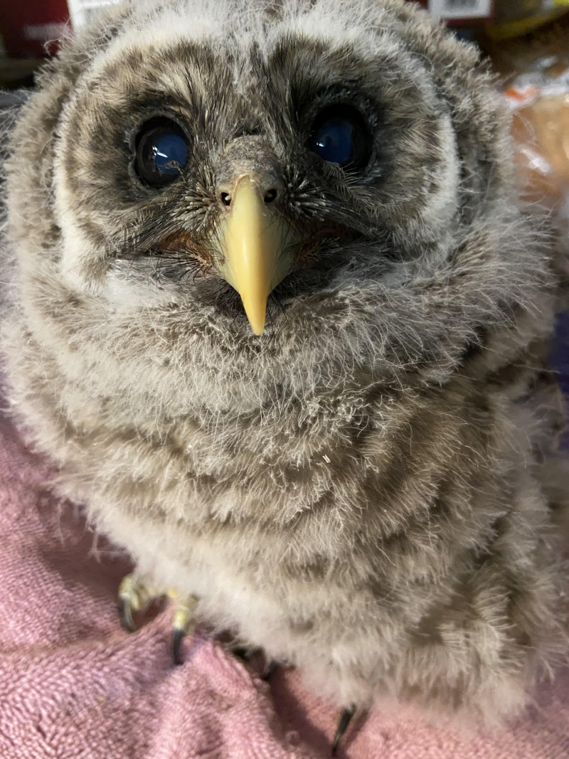 Nancy Baby Barred Owl