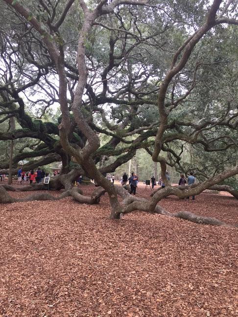 Margaret Angel Oak tree