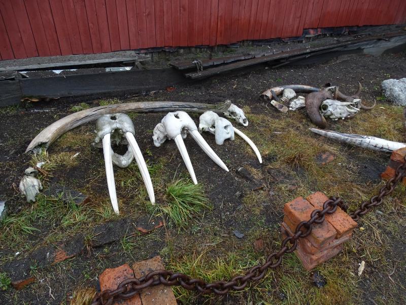 Kuik Siberia Walrus Skull Display Wrangel