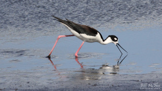 Black-necked Stilt 3-WM [Black Point] 2020-05-14