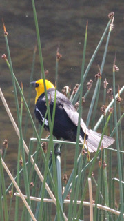 Bill Yellow-headed Blackbird-WM [Yellowstone] 2018-06-05