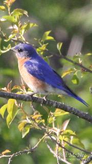 Eastern Bluebird-WM [Trustom Pond  RI] 2018-03-18_edited-1